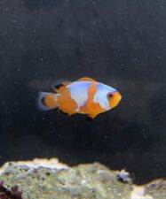 Pair of Black Ice Clownfish Marine Fish Reef Aquarium