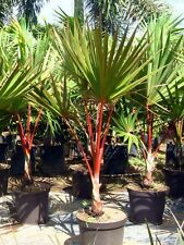 ***50 fresh  SEEDS***LATANIA LONTAROIDES***RED LATAN PALM***free shipping**