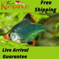 5/10/20X Assorted Green Barbs Beginner Aquarium Koi Kompanion