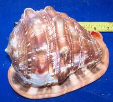 1 CASSIS RUFA CAMEO SEASHELL COLLECTOR  SEA SHELL DISPLAY RUFA # 122-L