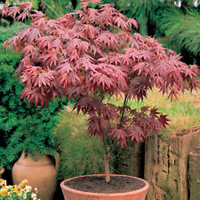 1 X ACER 'ATROPURPUREUM' PURPLE JAPANESE MAPLE TREE SHRUB GARDEN PLANT IN POT