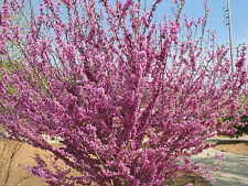 20 Chinese Redbud Seeds - Cercis chinensis