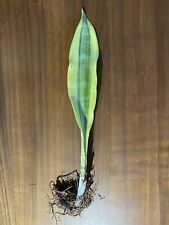Sansevieria Guineensis Variegated Gold - Rarer Unusual Collectors Species