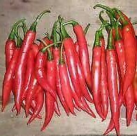 open pollinated seeds : fiery large chilli peppers