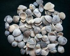 2 cups of common Florida fossil bivalve sea shells all natural colors for crafts