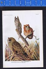 Screech & Short-Eared Owl - 1936 Bird Print