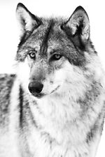 BEAUTIFUL WOLF CANVAS PICTURE #3 STUNNING WILDLIFE A1 CANVAS FREE P&P