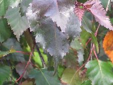 30 RED LEAVED GREY BIRCH SEEDS - Betula populifolia