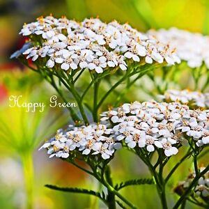 YARROW SUMMER WHITE - Achillea Millefolium - 3000 seeds - MILFOIL - PERENNIAL