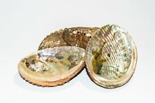 "Green Abalone Sea Shell One Side Polished Beach Craft 4"" - 5"" (4 pcs) #JC-16"