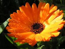 60 Semi di Calendula Officinalis***POT MARIGOLD seeds*** semillas