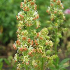 Mignonette - Crown Mixture - 1000 Seeds