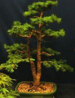 Garten Bonsai i! PINOW-TANNE !i Zierbaum winterhart dekorativ immergrün.
