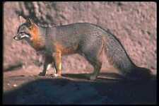 109028 Gray Fox En El Rock A4 Foto Impresión