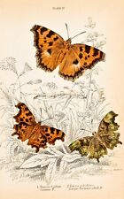 Jardine Butterfly Print - Hand Colored Copper Engraving - 1835 - LARGE TORTOISE