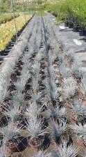 Graminacee - Festuca Glauca vaso 14 (OFFERTA 25 piante)