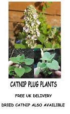 CATNIP NEPETA CATARIA HERB PLANTS ORGANIC PERENNIAL XXX STRONG FOR CATS #Catnip