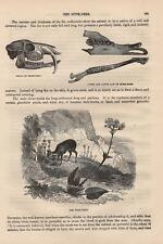 Moschustier Moschus moschiferus Musk deer skull jaw HOLZSTICH von 1866