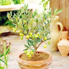 10PCS Rare Olive Bonsai Tree Bonsai Mini Olive Tree Olive Fresh Exotic Seeds Gar