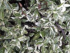 Variegated Asiatic Jasmine Qty 60 Live Plants Evergreen Ground Cover