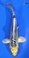 """New listing 4"""" DOITSU KUJAKU Koi live fish standard fin nextdaykoi NDK"""