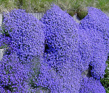PERENNIAL FLOWER AUBRETIA GRACILLIS ROCK CRESS ROYAL BLUE 0.15 GRAM