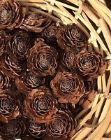 12 Cedar Cones Gorgeous Rose Shape  (Fir/Pine Cones) - Craft/Wedding/Pot Pourri