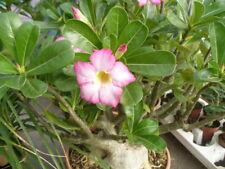 Adenium - Bonsai Wüstenrose - dekorative wasserspeichernde Zierpflanze