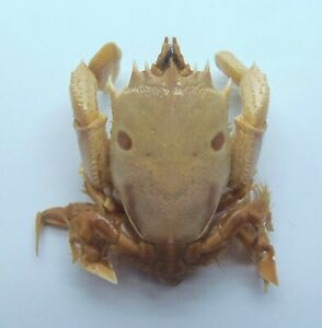 Frog Crab Notopus dorsipes Taxidermy Oddities Curios