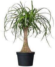 "Ponytail Palm Single Trunk Live Plant Pot 20-22"" Tall Houseplant Bonsai 6"" Pot"
