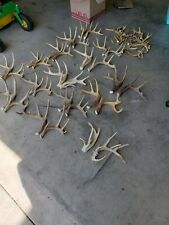 whitetail deer antlers 36 lbs hard brown