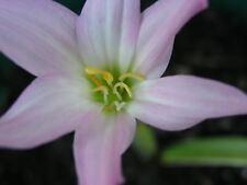 Rain Lily, Habranthus tubispatha, 1 bulb, New, Rare, zephyranthes