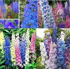 x 25 géant DELPHINIUM cultorums Mix F1 GRAINES JARDIN NEUF Plant de fleurs #157
