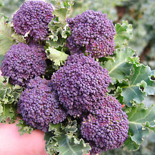 BROCCOLO VIOLA PRECOCE 100 SEMI produttivo facile broccoli cavolo purple early