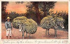 B95330 burros cargados de paja donkey types folklore mexico