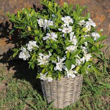 """Plant in 3.5/"""" Pot Gardenia jasminoides Kleims Hardy"""