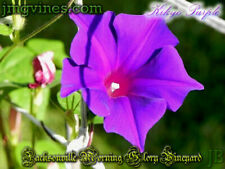 Kikyo Purple Japanese Morning Glory 6 Seeds