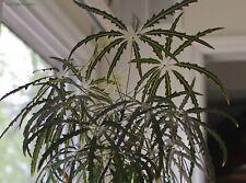 aralia elegantissima 9cm potted plant
