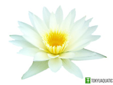 Nymphaea Thammanoon White Tropical Live Tuber Water Lily Aquatic Pond Plant Yard