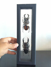 Insecte Entomologie Frame Cadre double face Dorcus titanus / Hexarthrius parryi