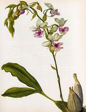 Vintage Botanical Print Orchid Flower Print Wall Art ~ Calanthe vestita (O48)