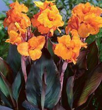 5 Canna Wyoming Orange flowering tall Bronze foliage bulbs/Rhizomes lily flower