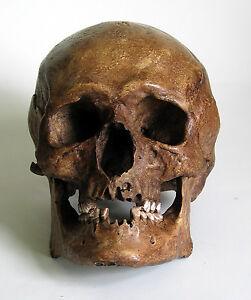 Human Skull Replica