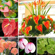 100 Pcs Seeds Rare Flowers Bonsai Anthurium Plants Garden Free Shipping 2019 New