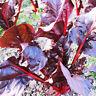 30 Red Lettuce Seeds Lactuca Sativa Organic Vegetables