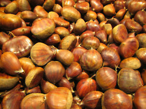 Esskastanie - Castanea 'Marron de Marradi' - Veredelte Maronen Pflanze 60-80cm