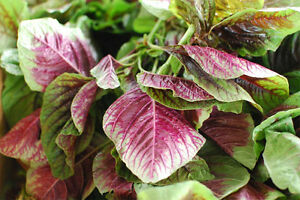 AMARANTHUS CALALOO RED LEAF VITAMIN RICH SUPERFOOD INCREDIBLE YIELDS 100 SEEDS