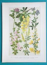 Cytisus scoparius 100 Graines de Genêt à balais Common Scotch Broom seeds