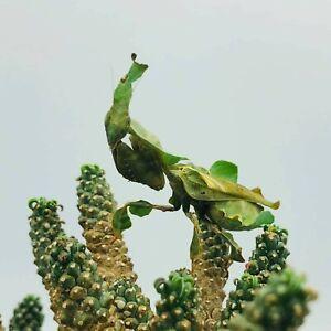 Ghost Praying Mantis (Phyllocrania paradoxa) L3+ exotic pet insect predator bug