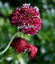 SCABIOUS - Scarlet Empress 50 Seeds